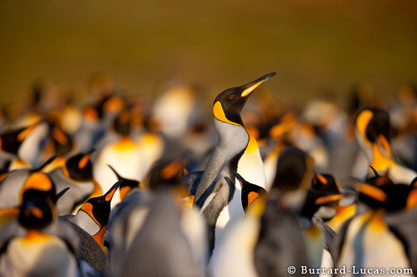 The king penguin colony at Volunteer Point.