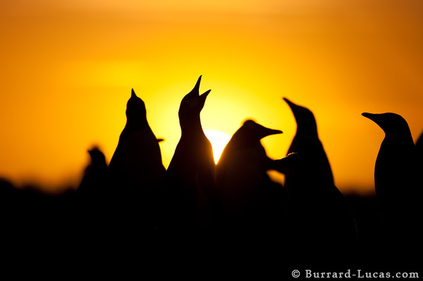 Silhouetted gentoo penguins at sunset.