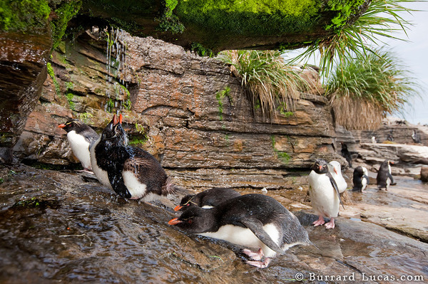 Penguins showering under the waterfall.