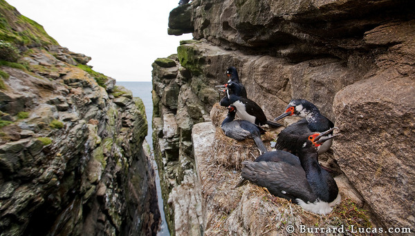 Rock shags nesting in a canyon.