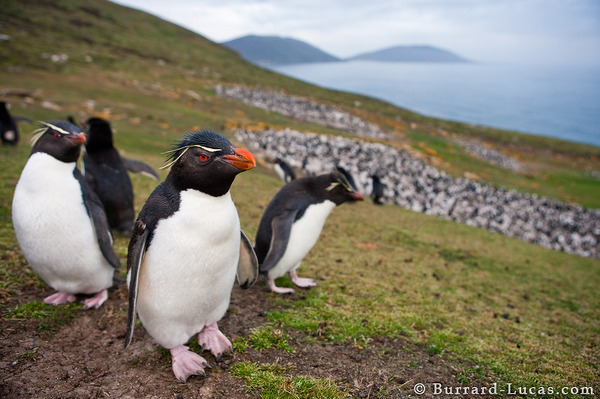 The Rockhopper Colony on Saunders Island