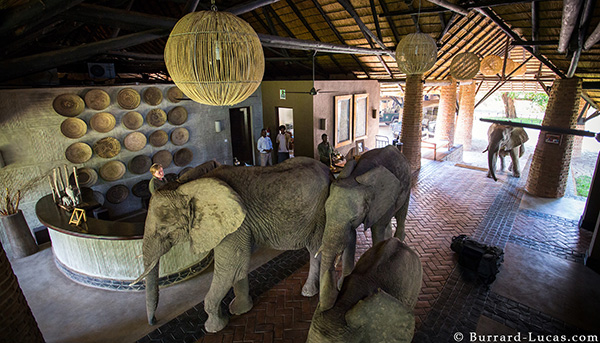 In October-November each year, a family of elephants regularly walk through reception at Mfuwe Lodge!