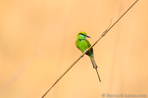 A beautiful green bee-eater perched on a blade of grass.