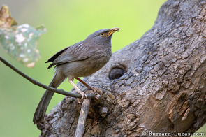 A jungle babbler with a grass hopper in its beak.