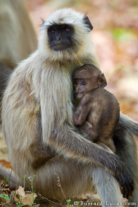 A baby langur feeding from its mother.