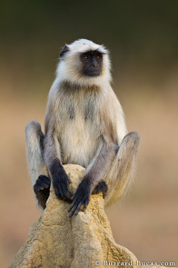 A langur looking out for danger from the top of a termite mound.