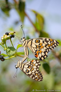 Common lime butterflies mating.