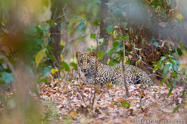 An Indian leopard camouflaged in the thick forest.
