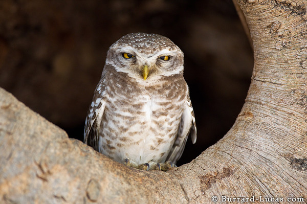 A spotted owlet sitting outside its nest.