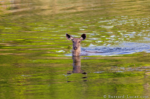 Swimming Barasingha