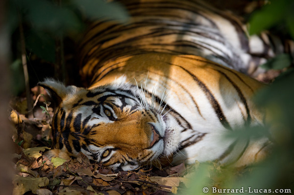A tigress resting from the intense midday heat.