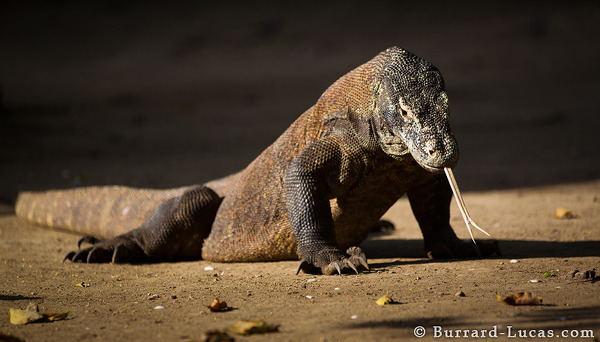 Komodo Dragon tasting the air.