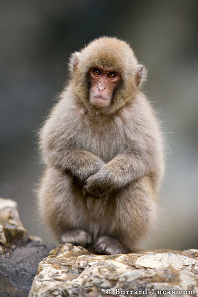 A Baboons But Baby Macaque - Burrard...