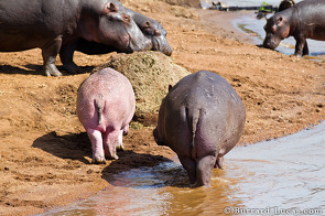 The fetching pink rump of this hippo was rather conspicuous!