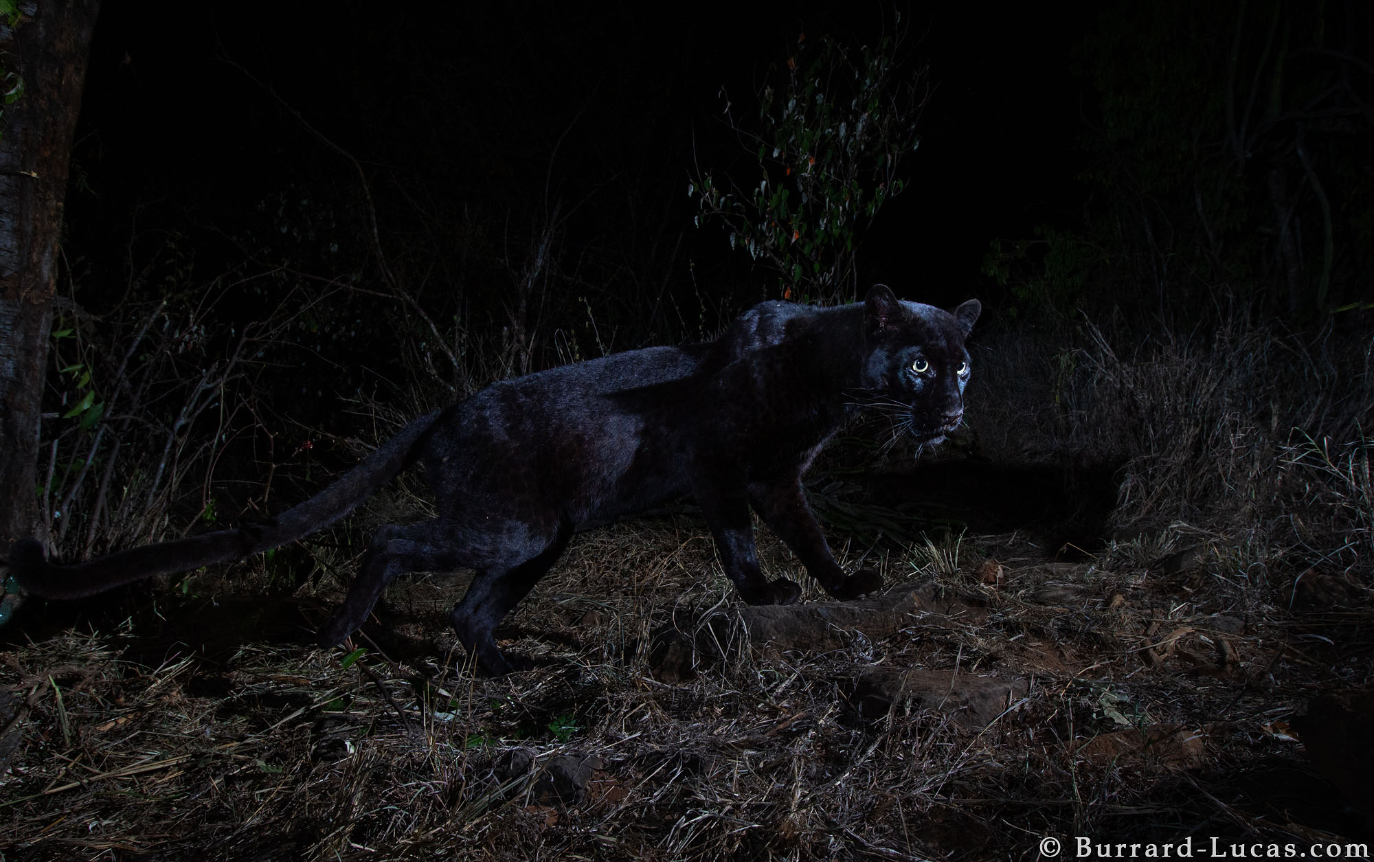 Black Leopard: My quest to photograph the most elusive cat ... - photo#29