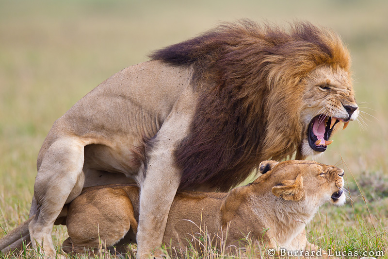 Male Lion Mating