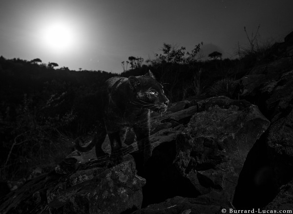 f5118b579305ca Black Leopard: My quest to photograph the most elusive cat in Africa