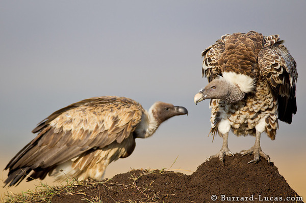 Hunched Vulture