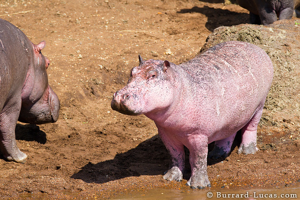 The pink hippo spotted us on the far bank and soon disappeared back into the murky waters of the Mara River.