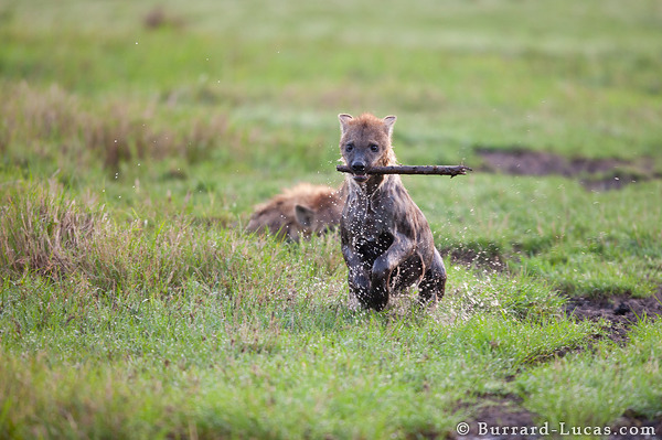 Playful Hyena