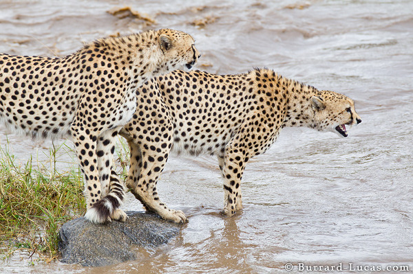 River Crossing Cheetah
