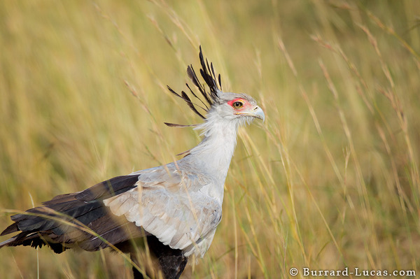 Secretary Bird Portrait