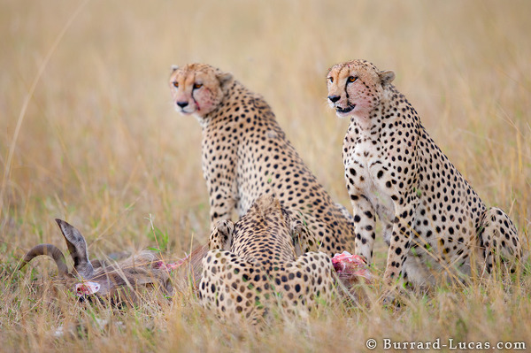 Three Brother Cheetahs