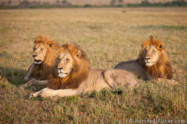 canon 1ds markiii_Three Brother Lions - Burrard-Lucas Photography