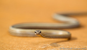 Common Big-eyed Snake