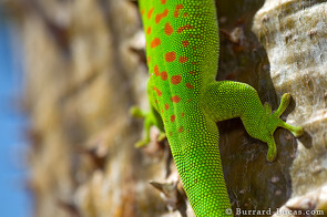 Day Gecko Back Pattern