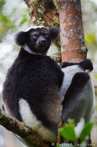 An Indri, the largest species of lemur.