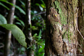 Leaf-tailed Gecko / Uroplatus Sikorae on Tree