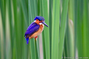 Madagascar Malachite Kingfisher