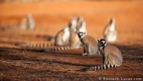 Ring-tailed Lemurs live in large groups and are the most ground-dwelling of all lemur species.