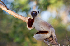 A Coquerel's Sifaka.