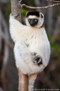 A mother and baby Verreaux's Sifaka.