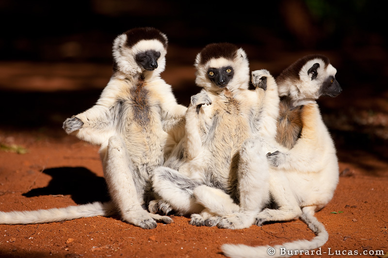 sifakas and indris