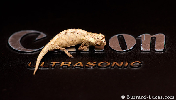 Brookesia on Lens Cap