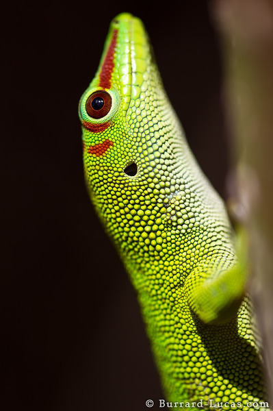 Day Gecko Portrait