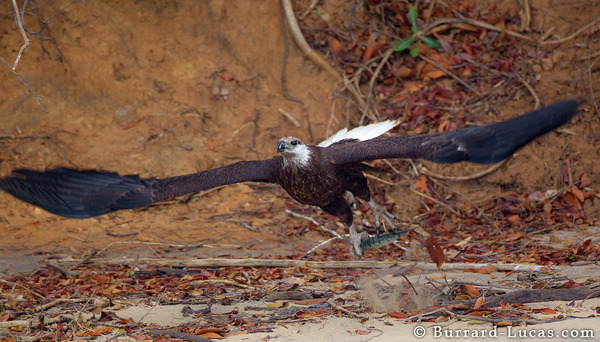 Fish-eagle Flying