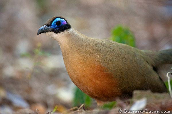 Giant Coua in Forest