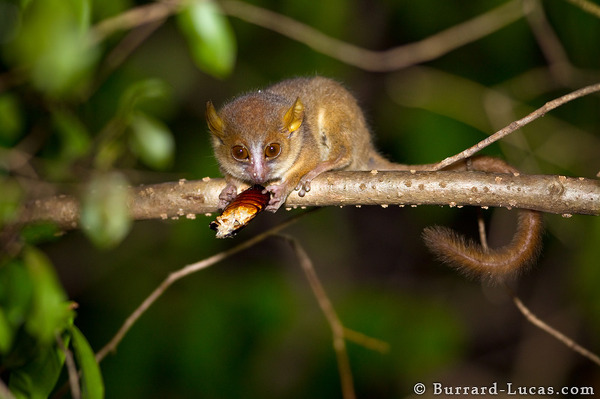 A Golden-brown Mouse Lemur eating a juicy Hissing Cockroach!