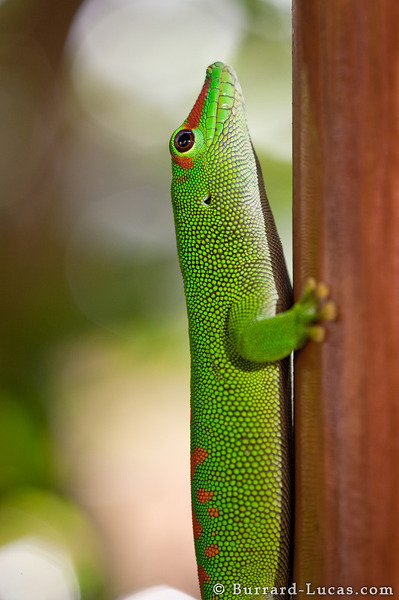Green Gecko Profile