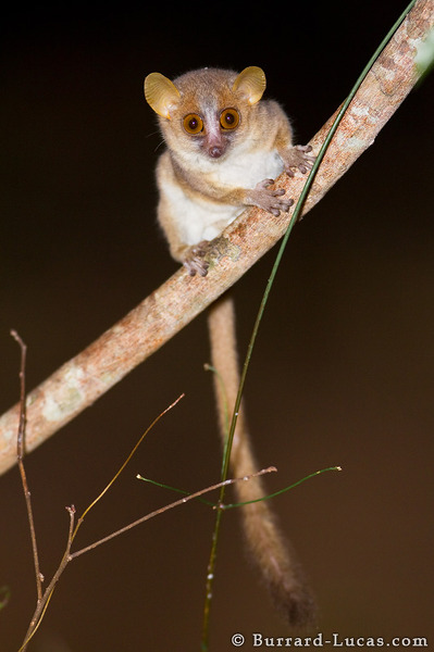 Grey Mouse Lemur.