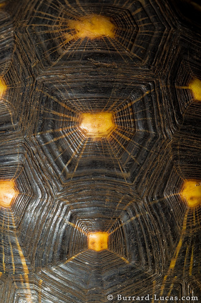 Radiated Tortoise Shell
