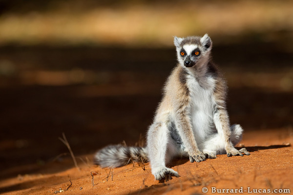 Ring-tailed Lemur on Sand