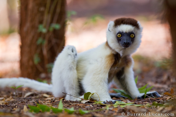 Sifaka on the Ground