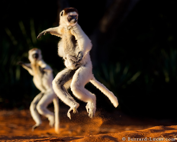 Verreaux's Sifakas jumping along the ground (notice the baby clinging on!)
