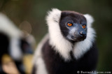 Black-and-white Lemur