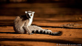 Lemur in Sunlight